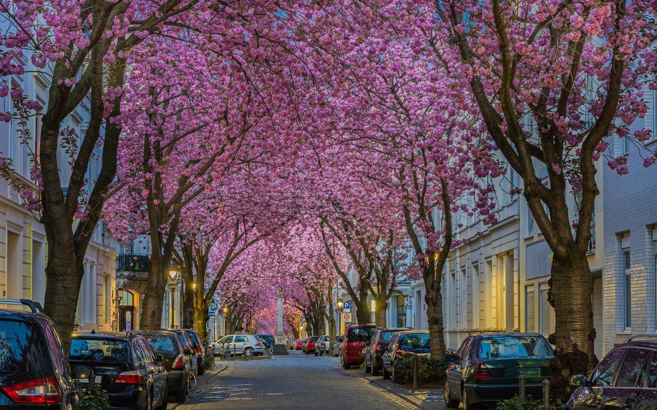 AWAYN IMAGE Bonn Cherry Blossoms
