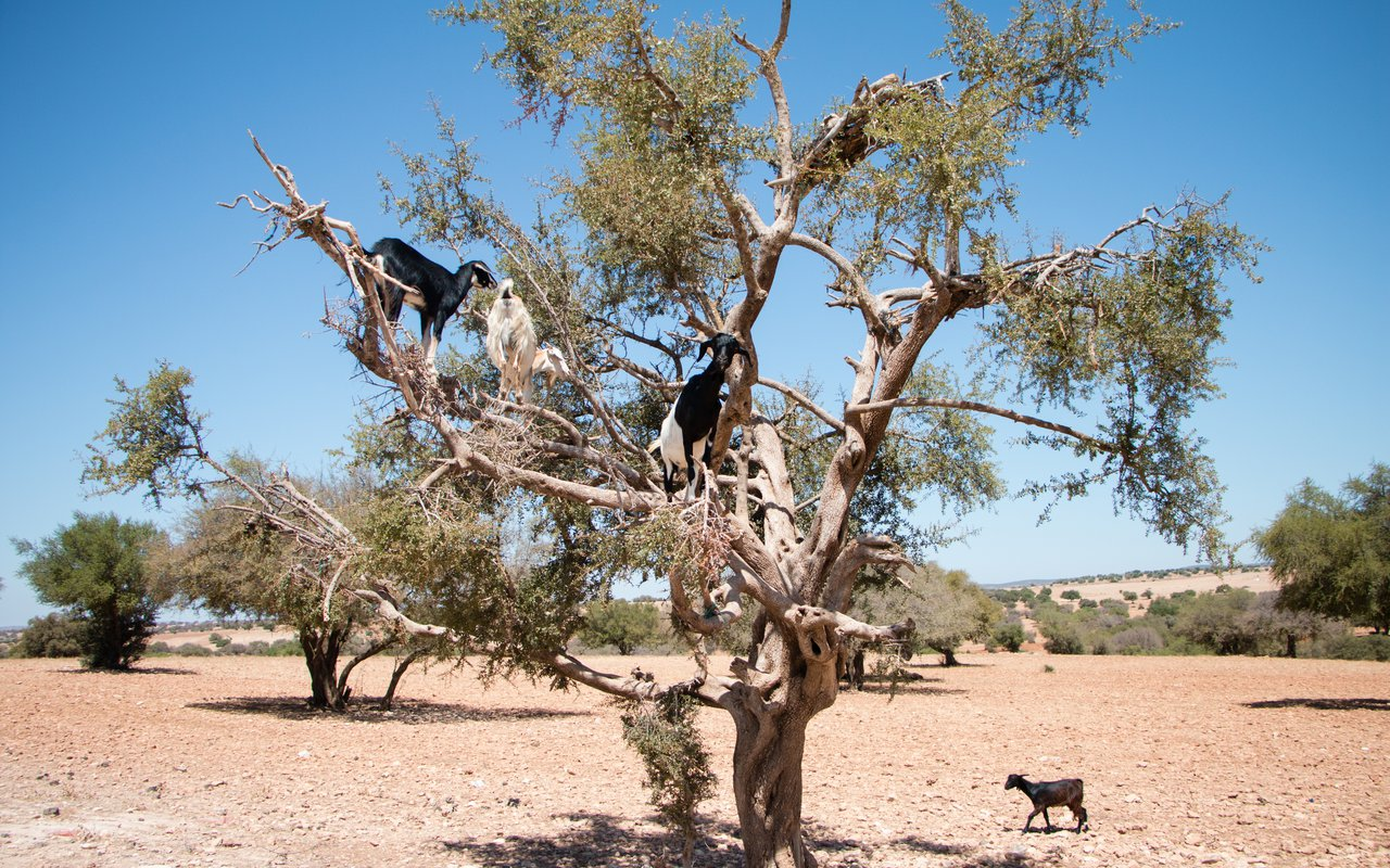 AWAYN IMAGE Spot Moroccan goats on the trees