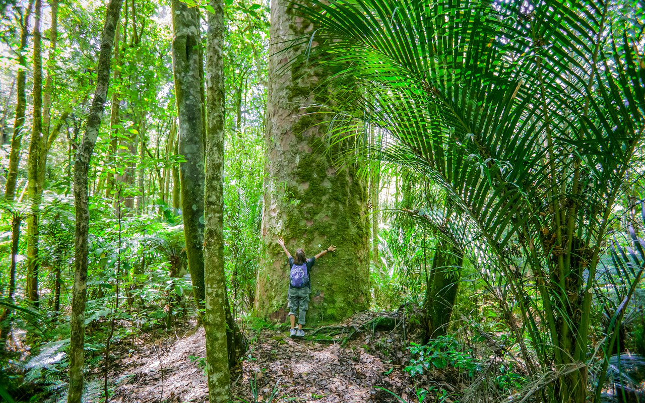 AWAYN IMAGE Explore the Waipoua Kauri Forest