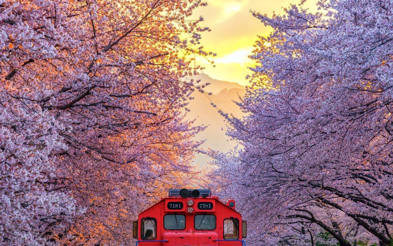 AWAYN IMAGE Gyeonghwa Station (Cherry Blossom Road) 경화역 벚꽃길
