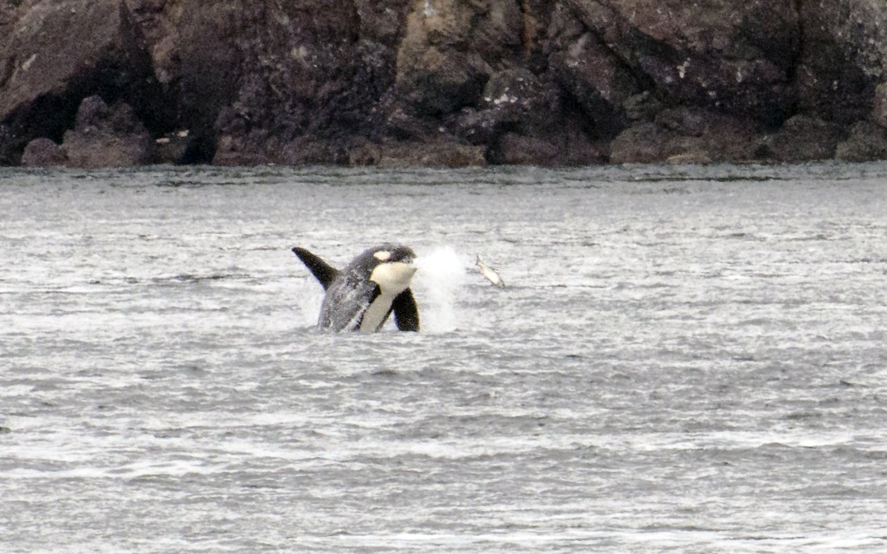 AWAYN IMAGE Whale watching off San Juan Islands