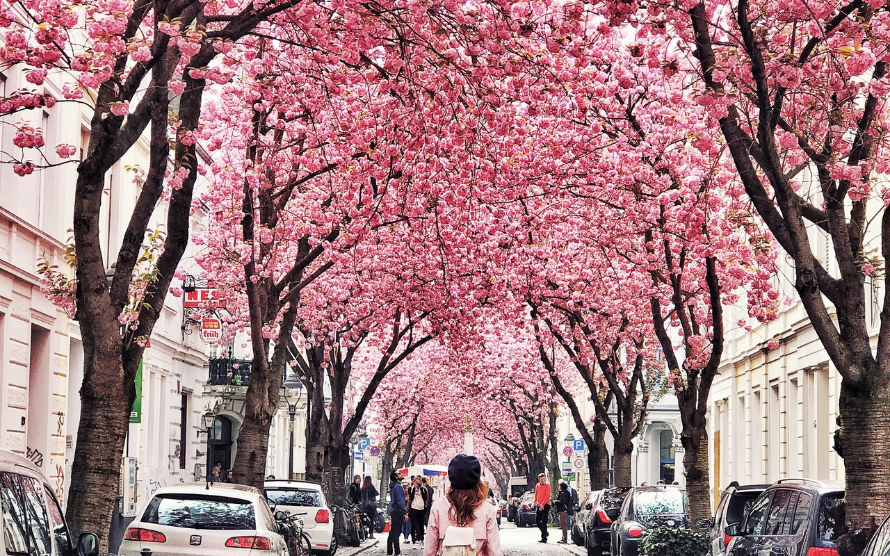 AWAYN IMAGE Experience Cherry Blossoms of Bonn