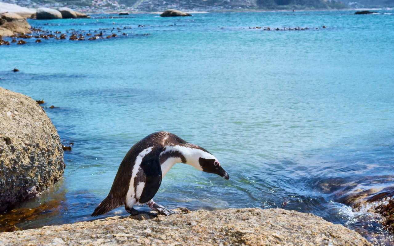 AWAYN IMAGE Hang out with African penguins at Boulders Beach