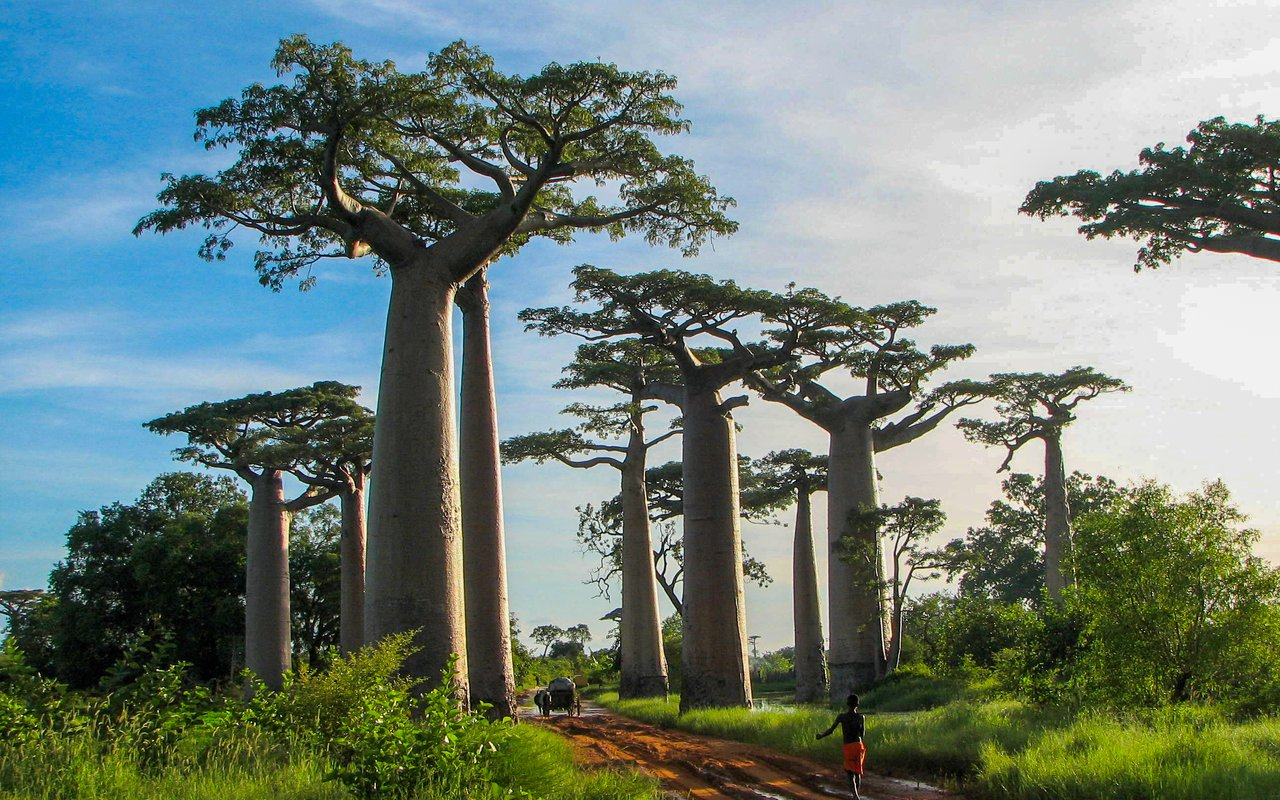 AWAYN IMAGE Avenue of the Baobabs