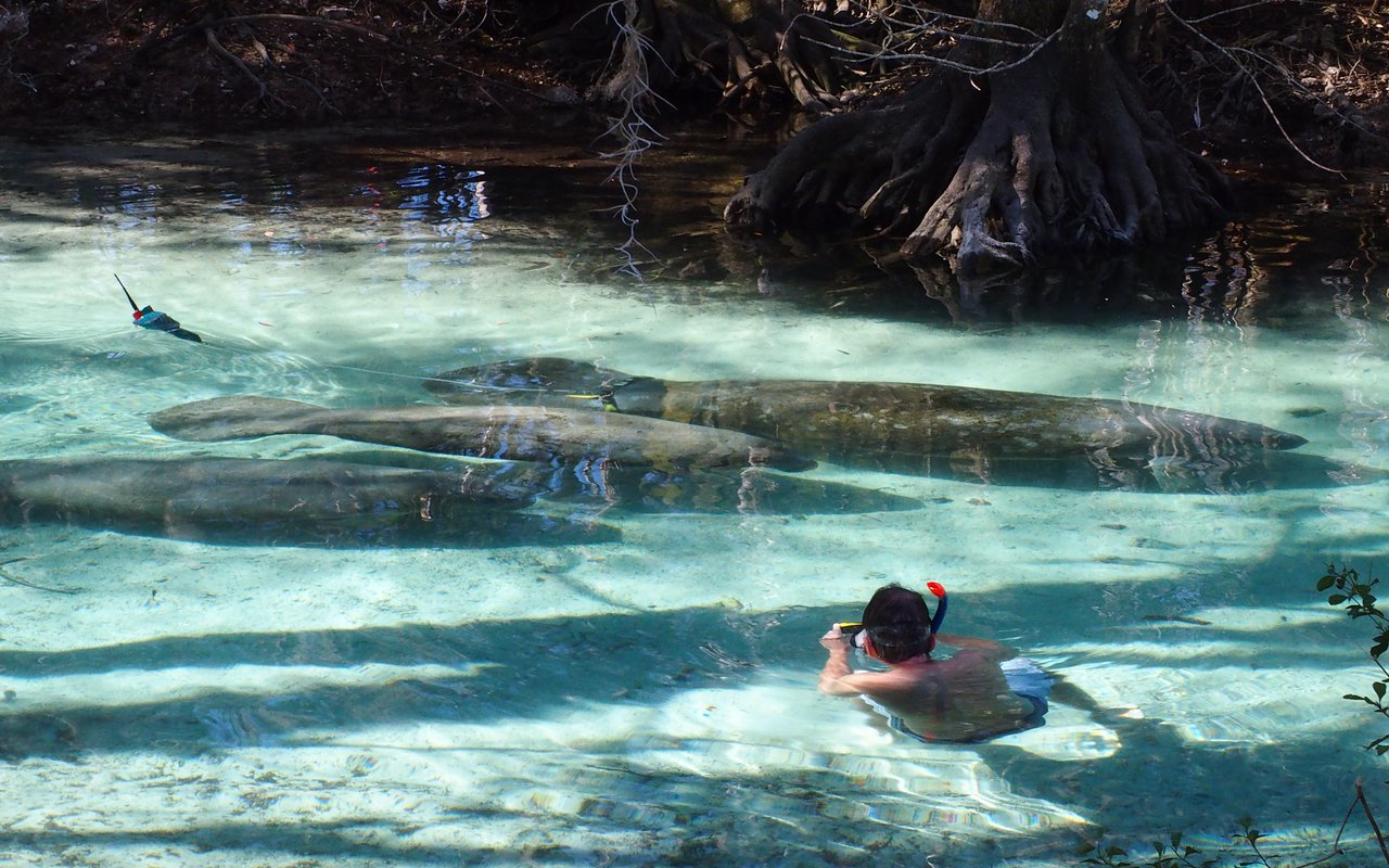 AWAYN IMAGE Swim with Manatees at Three Sisters Spring