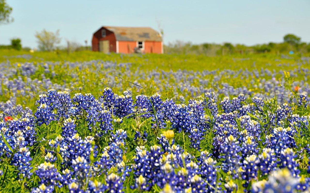 AWAYN IMAGE Texas bluebonnets season