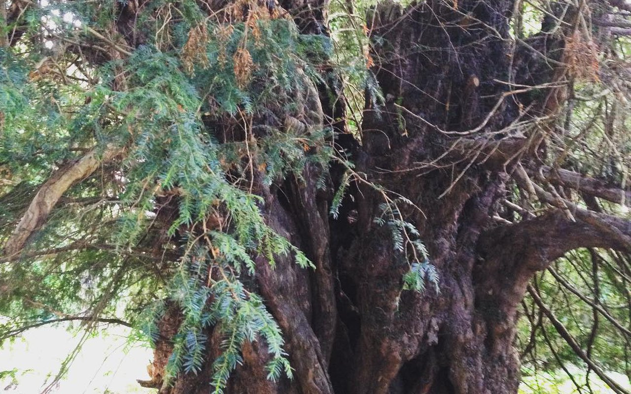 AWAYN IMAGE Oldest tree in Britain Ankerwycke Yew