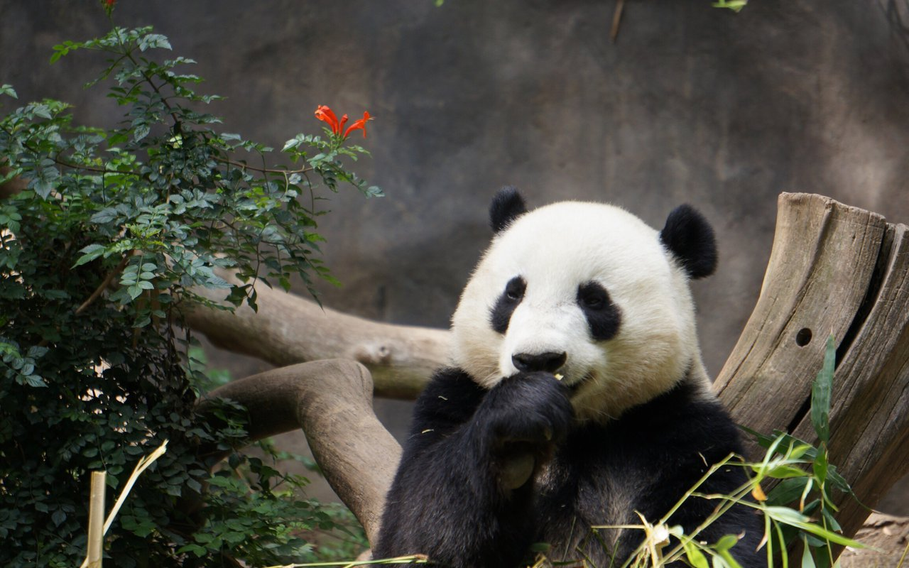 AWAYN IMAGE The Giant Panda Sanctuary  四川大熊貓棲息地
