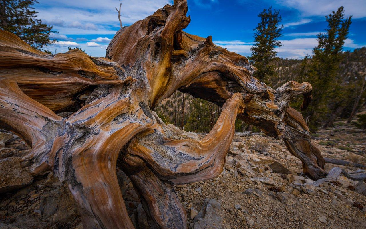 AWAYN IMAGE Methuselah tree