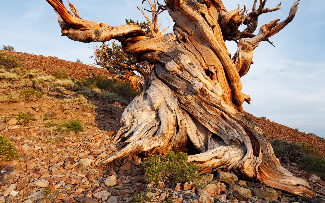 AWAYN IMAGE Methuselah tree