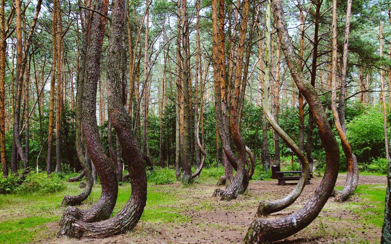 AWAYN IMAGE Crooked Forest Gryfino
