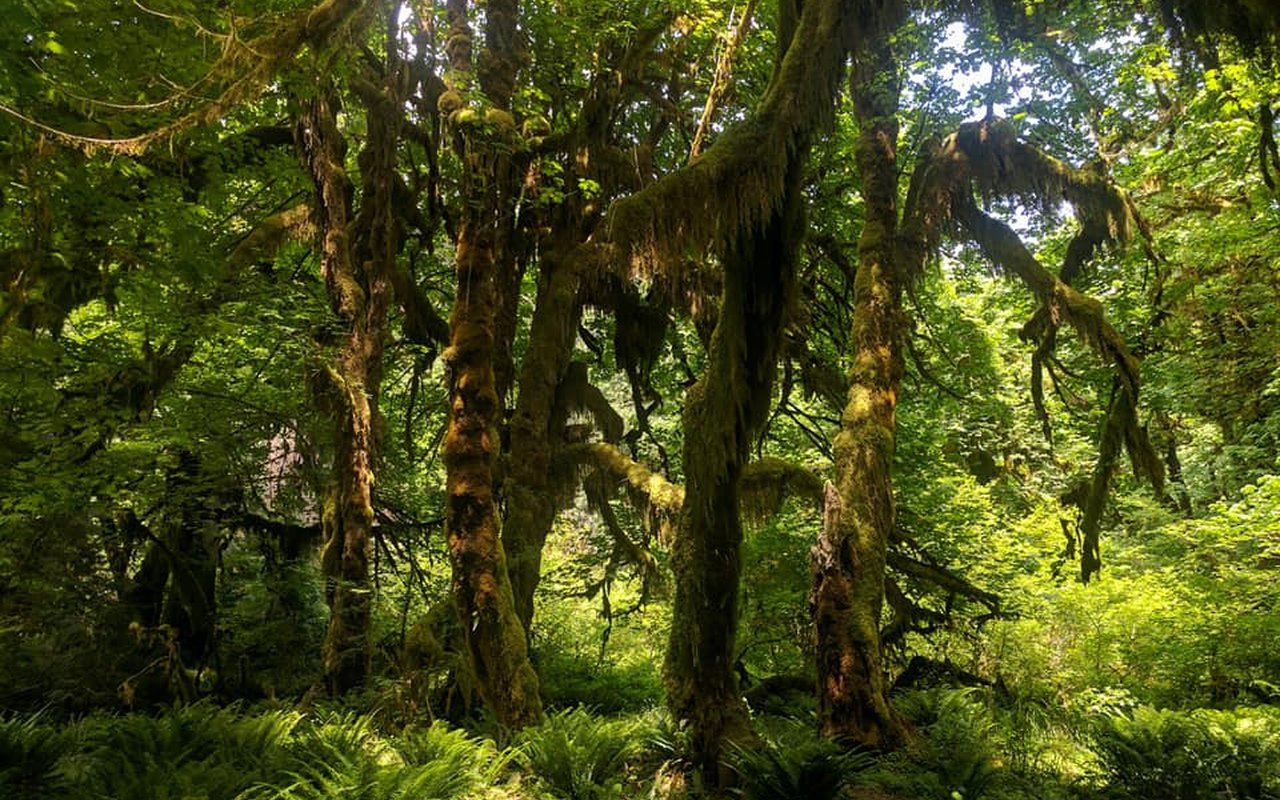 AWAYN IMAGE Hoh Rain Forest (Olympic National Park) : Hike