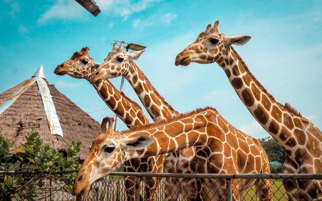 AWAYN IMAGE Hand feed Giraffes at Nairobi's Giraffe Sanctuary