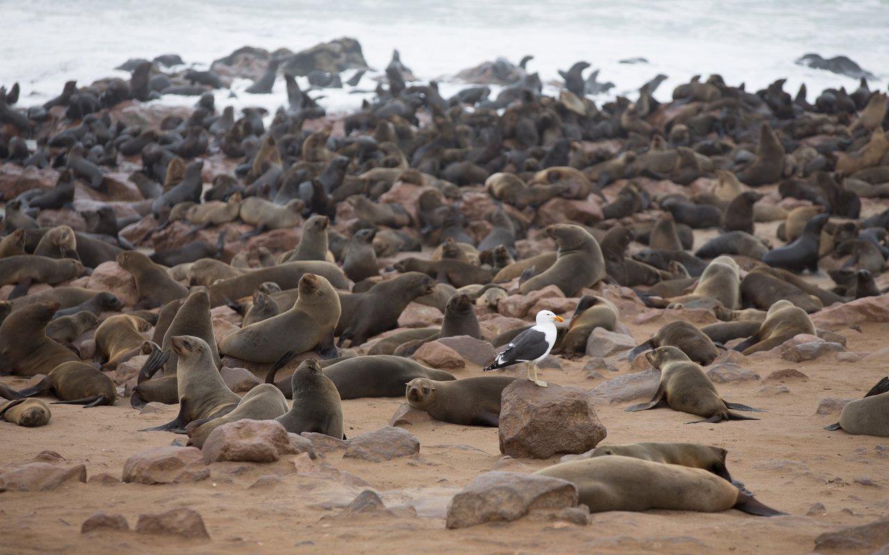 AWAYN IMAGE Cape Cross Seal Reserve